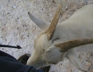 旭山シバヤギ