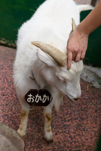 羽村市動物園のシバヤギ「おかか」