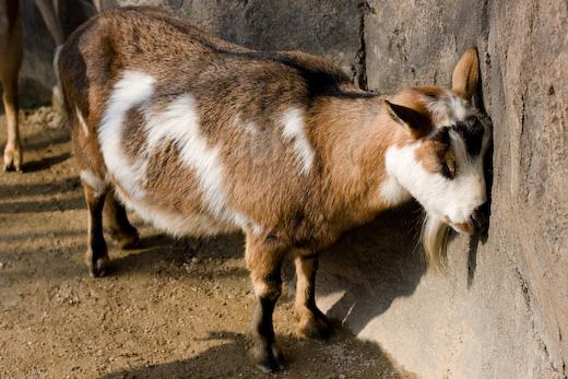 安佐のヤギ