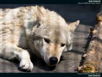 チュウゴクオオカミ