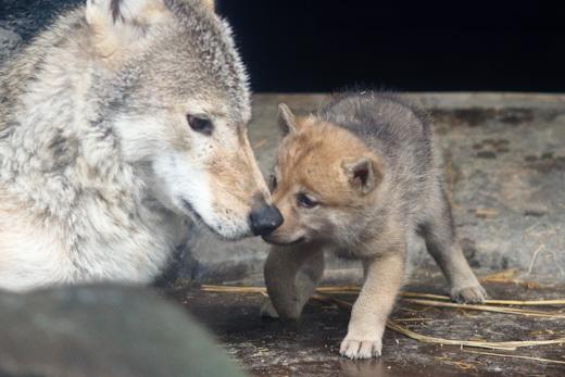 チュンサン&仔オオカミ