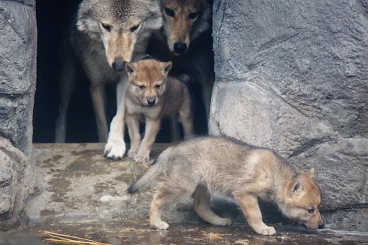 オオカミ一家