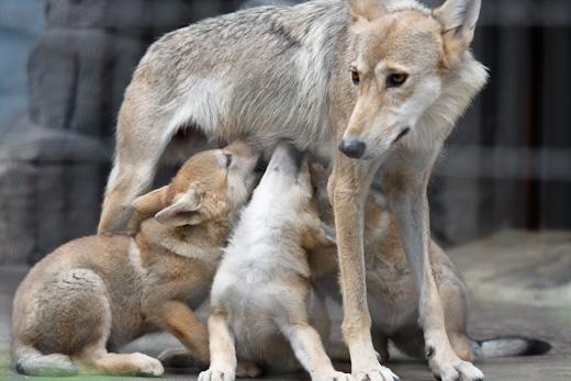 チュウゴクオオカミ母子