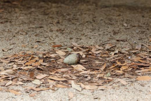 ソデグロヅルの卵