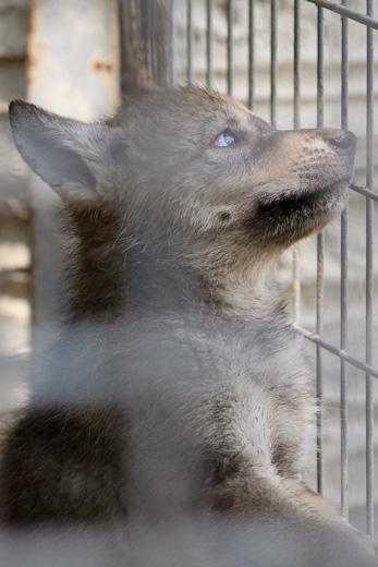 仔オオカミ