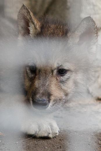 仔オオカミ灰♂