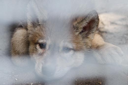 仔オオカミ灰♀