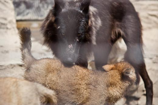 ソニア&仔オオカミ