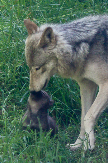 ジェイ&仔オオカミ